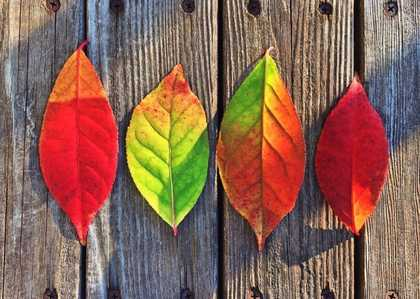 indian autumn leaves